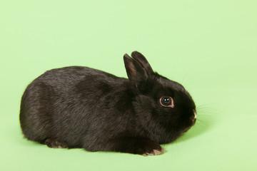 Black rabbit on green background