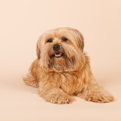 Little long haired dog on beige background