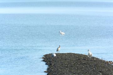 Spoonbills in Dutch wadden sea
