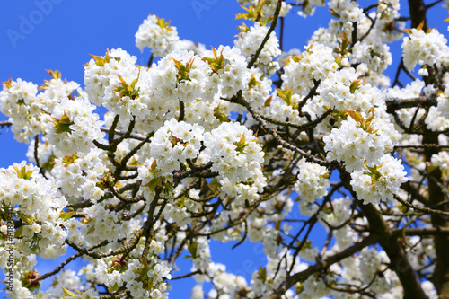 Fotobehang Kersen Kirschblüte (Cherry blossom) in Wiesbaden-Frauenstein