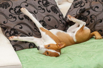 Сute Basenji stretch itself after siesta time on the sofa