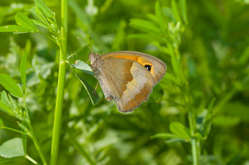 Meadow brown butterfly in summer grass