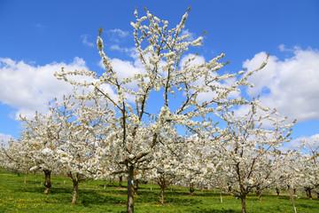 Kirschblüte (Cherry blossom) in Wiesbaden-Frauenstein