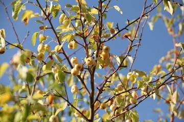 yellow apples on apple tree branch