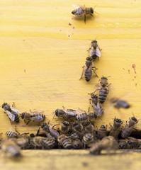Honey bees in yellow beehive