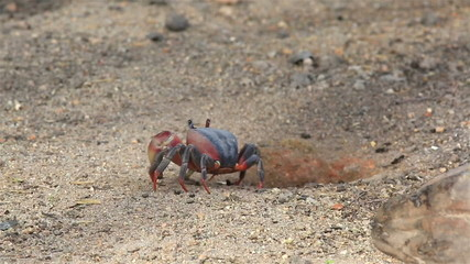 Land crab crawls into his hole.