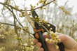 Spring gardening, pruning. - 81844628