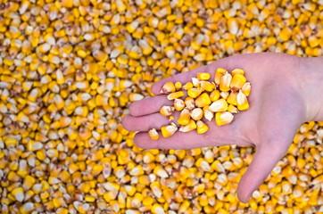 corn grain in a baby palm