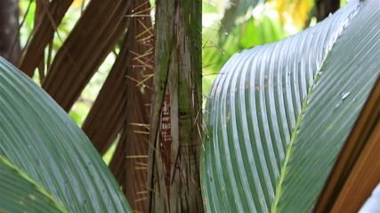 Phoenicophorium borsigianum in Vallee de Mai Nature Reserve