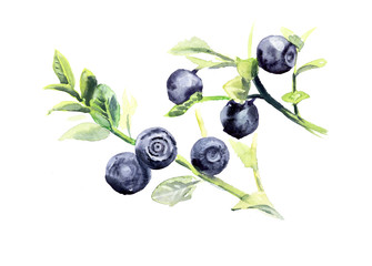 Branch bilberry. Forest miniatures. Watercolor