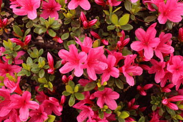 Azalea in full bloom that get wet in rain