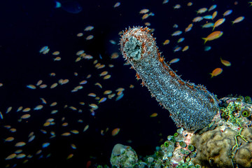Holoturian sea cucumber
