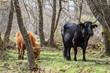 Vacas entre los robles del bosque.