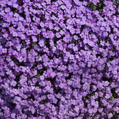 Aubrieta Flower Carpet