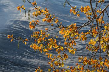 Ramas de chopo con hojas e inflorescencias. Populus.