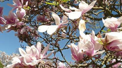 magnolia tree spring