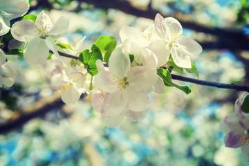 flowers of apple tree on twig
