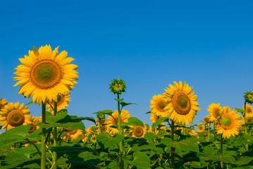beautiful closeup summer sunflowers