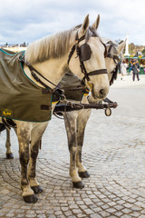 Two white horses in Traditional horse-drawn Fiaker carriage