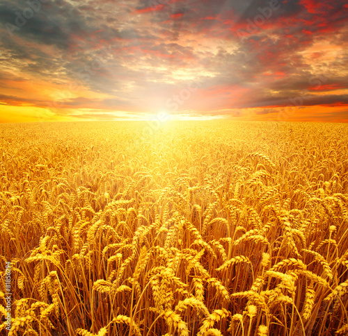 Field of wheat - 81856294