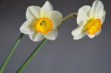 Нарциссы на белом фоне
