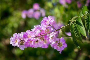 pride of india flower (queen's flower)