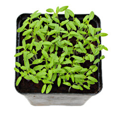 Green shoots of seedlings