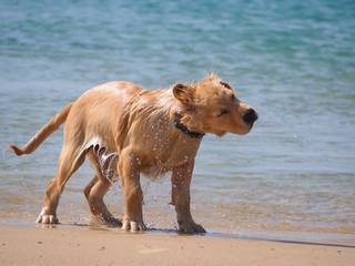 Golden Retriever puppy drying his fur