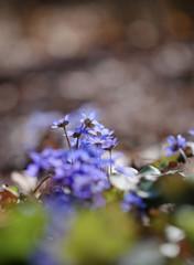 First spring Violet flower