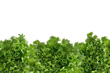 Bottom border of crisp fresh lettuce