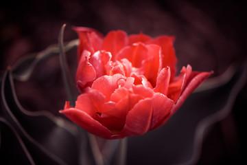 fresh red tulip after rain at spring garden