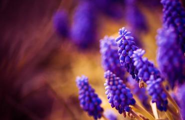 violet flowers at spring garden