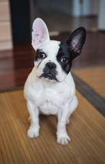 French bulldog dog at home