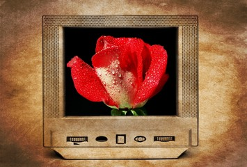 Red rose on TV