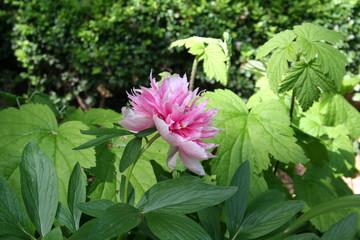 Flor Paeonia