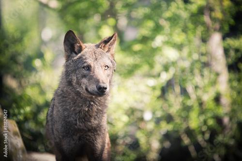 Fotobehang Schapen loup