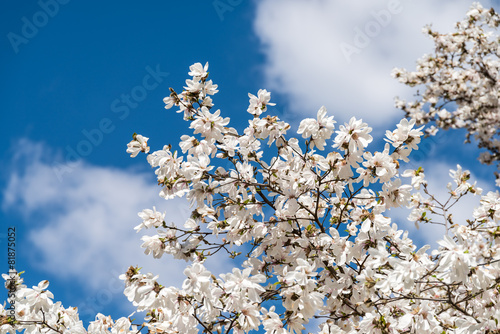 Foto op Canvas Magnolia White Magnolia Flowers In Spring