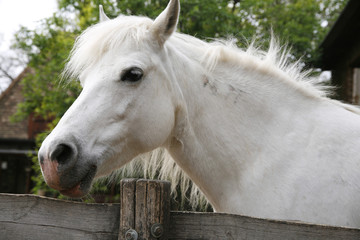 Closeup of a white pony horse. Pony looking over the corral door