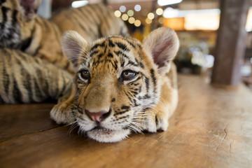 little tiger cub relaxing on a wooden floor