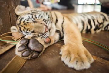 Cute little tiger cub lying sleeping on a wooden floor