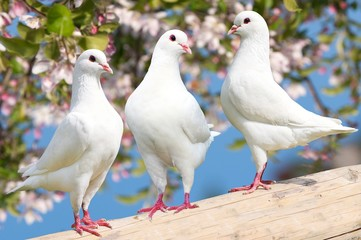 Three white pigeon on flowering background