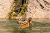 adult tigers play fighting in the water
