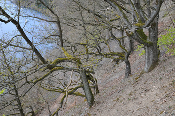 Eichen am Steilhang Edersee