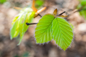 young spring beech leafs
