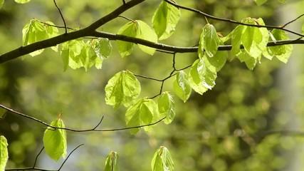 Junge, frische Blätter im Frühjahr