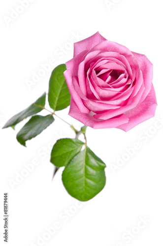 Keuken foto achterwand Lilac beautiful single pink rose on a white background. top view