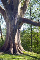 Gewaltiger alter Baum