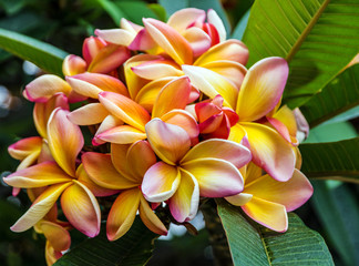 Tropical flowers Plumeria blooming, Madeira, Portugal.