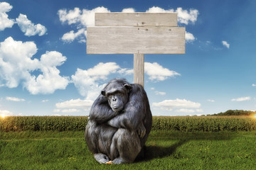 idly chimpanzee, sitting in front of a wooden sign