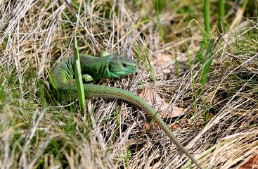 green lizard in grass